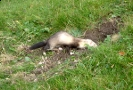 Feral Ferret <em>Mustela furo</em> :: Ferel ferret