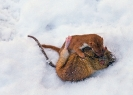 Weasel <em>(Mustela nivalis)</em>