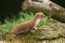 Weasel <em>Mustela nivalis</em> :: Weasel