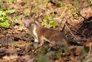 Carnivora (Otter, Fox etc) :: Stoat