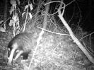 Carnivora (Otter, Fox etc) :: Badger