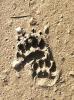 Badger tracks