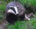 Badger <em>(Meles meles)</em>