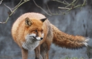 Fox <em>Vulpes vulpes</em> :: Red fox