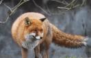 Carnivora (Otter, Fox etc) :: Red fox