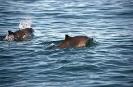 Cetacea<br />(Whales) :: Harbour Porpoise <em>(Phocoena phocoena)</em>