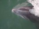 Cetacea<br />(Whales) :: Bottlenose Dolphin