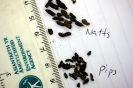 Natterers Bat <em>Myotis nattereri</em> :: Natterers bat droppings