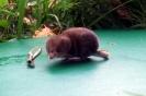 Pygmy Shrew <em>Sorex minutes</em> :: Pygmy shrew from Ashford