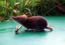 Insectivores (Shrews, Moles, etc.) :: Pygmy shrew from Ashford