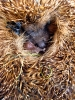 Insectivores (Shrews, Moles, etc.) :: Hedgehog