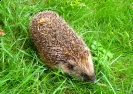 Insectivores (Shrews, Moles, etc.) :: Hedgehog