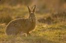 Lagomorpha (Rabbits, Hares, etc.) :: Brown Hare
