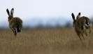 Brown Hare <em>Lepus europaeus</em>