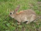 Rabbit <em>Oryctolagus cuniculus</em> :: Rabbit