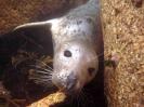 Pinnipedia (Seals) :: Young Grey seal