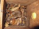 Yellow-necked Mouse <em>(Apodemus flavicollis)</em>