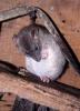 Brown Rat <em>(Rattus norvegicus)</em>
