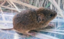 Rodentia (Mice, Voles etc) :: Examining a Field Vole <em>(Microtus agrestris)</em>