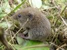 Rodentia (Mice, Voles etc) :: Bank vole