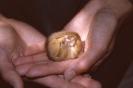 Torpid Dormouse <em>(Muscardinus avellanarius)</em>