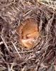 Dormouse (<em>Muscardinus avellanarius)</em> in hibernation