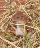 Rodentia (Mice, Voles etc) :: Harvest Mouse <em>(Micromys minutus)</em>