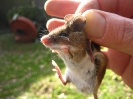 Wood mouse (trapped)
