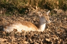Ungulates<br />(Deer, boar etc) :: Fallow Deer