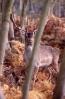 Ungulates<br />(Deer, boar etc) :: Fallow deer <em>(Dama dama)</em> stag in winter coat