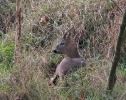 Ungulates<br />(Deer, boar etc) :: Roe Buck <em>(Capreolus capreolus)</em>