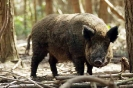 Ungulates<br />(Deer, boar etc) :: Taken at Wildwood