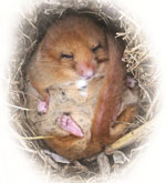 A future for Dormouse in Kent