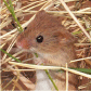 Harvest Mouse ((Micromys minutus)