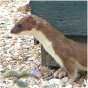 Stoat (Mustela erminea)