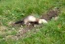 Carnivora (Otter, Fox etc) :: Ferel ferret