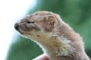 Carnivora (Otter, Fox etc) :: Weasel (photo2)