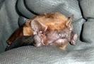 Chiroptera (Bats) :: Noctule bat