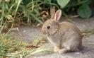 Young Rabbit <em>(Oryctolagus cuniculus)</em>