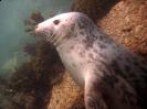 Pinnipedia (Seals) :: Grey seal pup