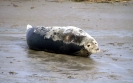 Pinnipedia (Seals) :: Grey seal