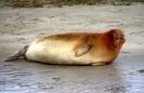 Pinnipedia (Seals) :: Common seal
