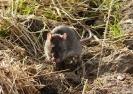 Common Rat <em>Rattus norvegicus</em> :: Common or Brown Rat