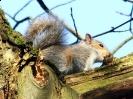 Rodentia (Mice, Voles etc) :: Grey Squirrel