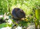 Water Vole <em>Arvicola terrestris</em> :: Water Vole <em>(Arvicola terrestris)</em> feeding